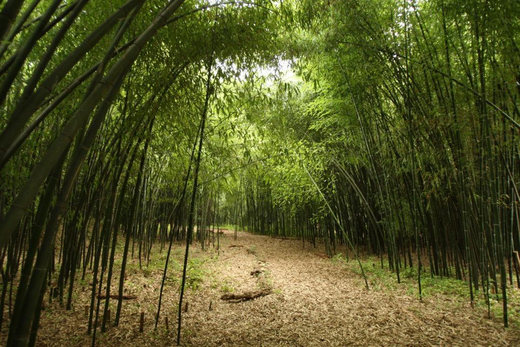 path through bamboo grove