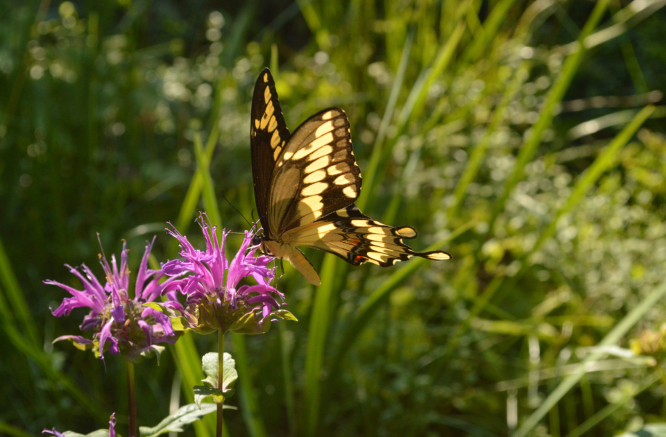 Butterfly in the Donald B Lacey Display Garden