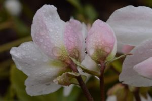 pink-blushed white flowers and buds with water drops