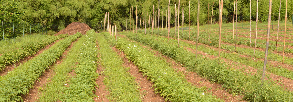 Crop rows at the student farm.