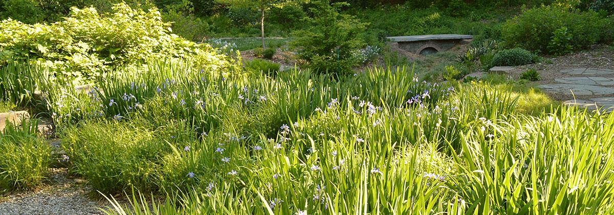 Irises in rain garden.