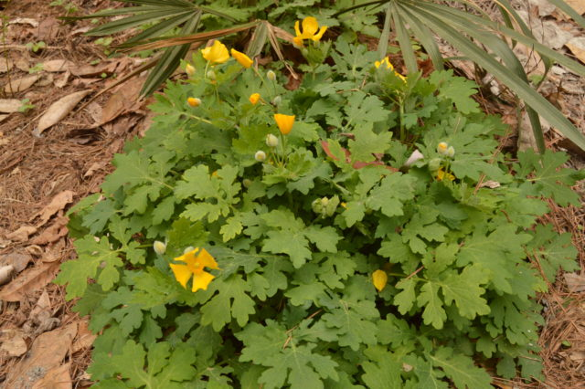 Stylophorum diphyllum.