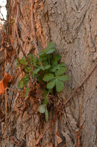 Celandine Poppy growing out of a Black Locust tree.