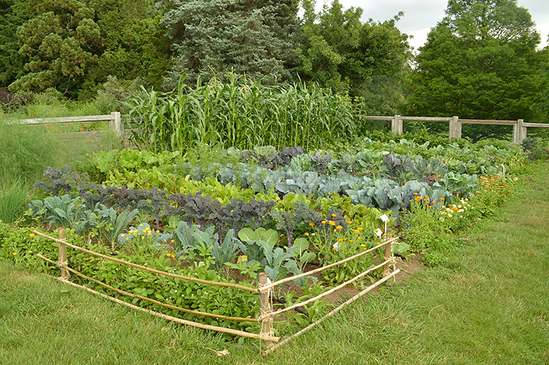 Volunteer Vegetable Garden.
