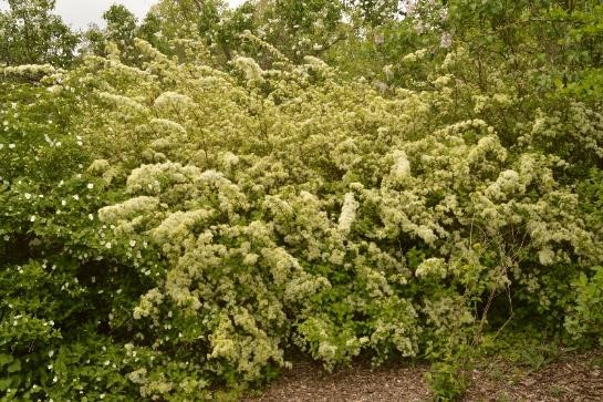 shrub with long arching branches covered with fluffy white flowers