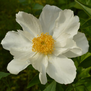 large white peony flower with a fluffy yellow center