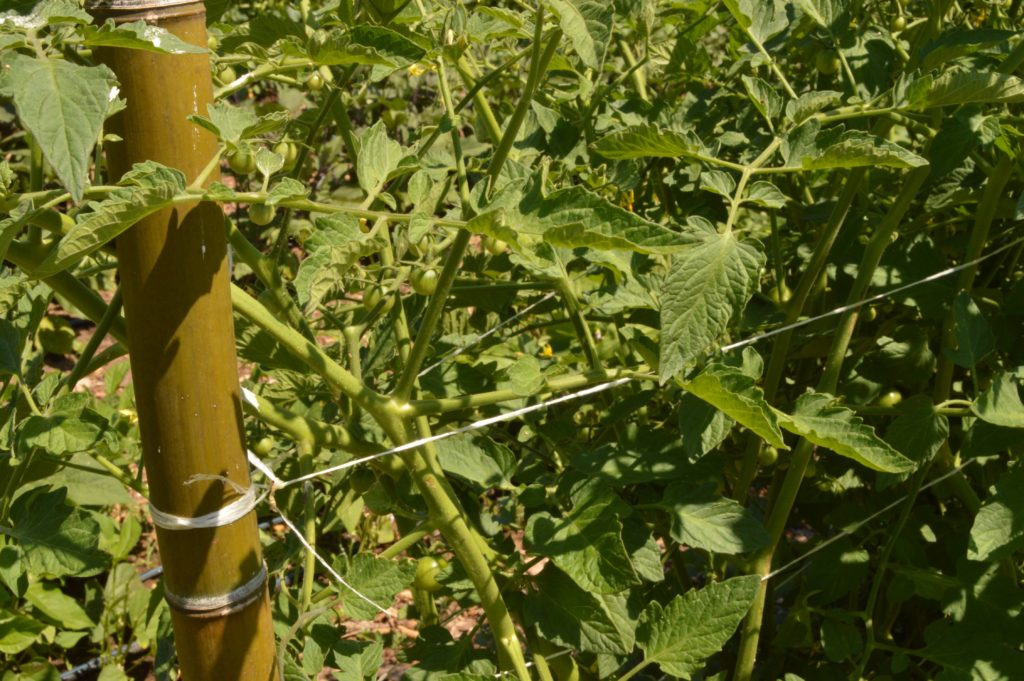 close up of twine tied to a bamboo pole to support tomato plants