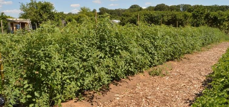 long row of tomato plantssupported by twine and stakes