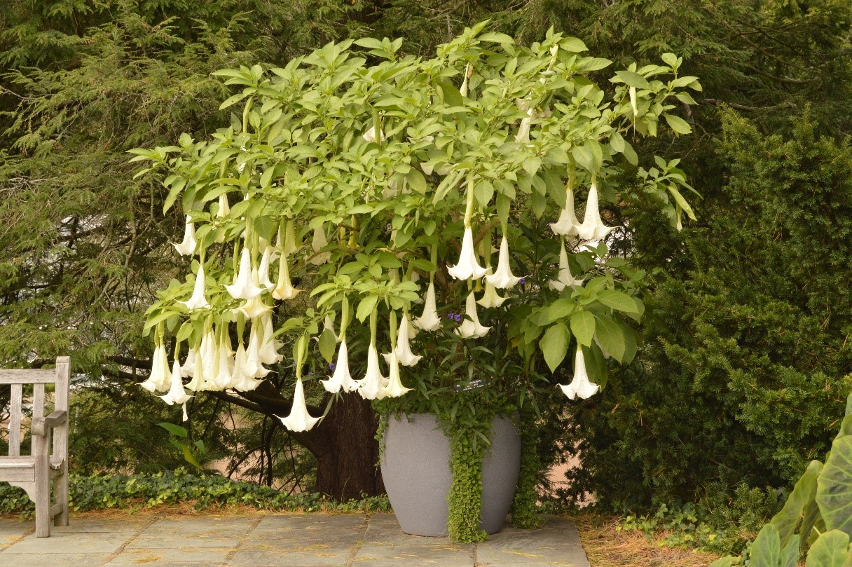 large leafy shrub in a container, with dangling white trumpet shaped flowers