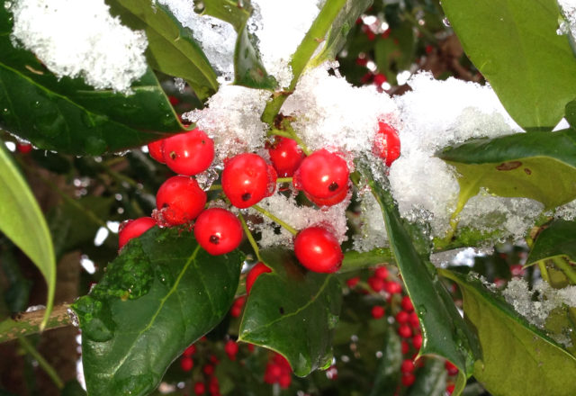 holly leaves and berries with snow on top