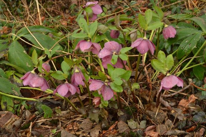 small, low clump of green foliage with pendulous mauve-pink flowers with wide petals