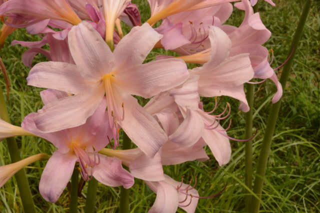 cluster of pink lily-like lycoris flowers
