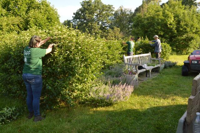 garden interns pruning a hedge