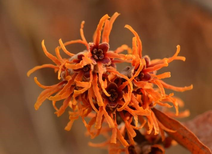 cluster of spidery golden-orange flower of witch hazel