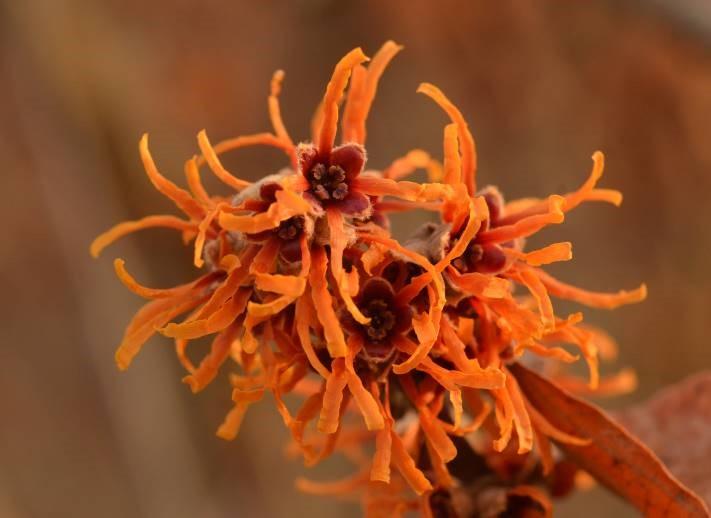 cluster of spidery golden-orange flower of witch hazel