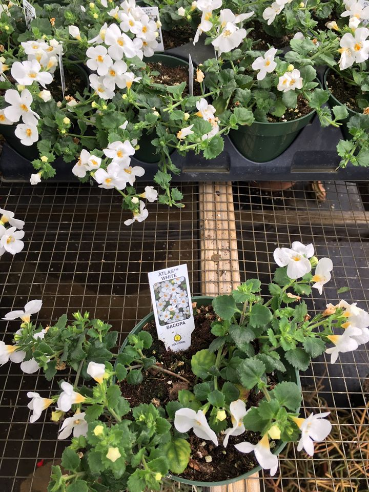 white bacopa flowers