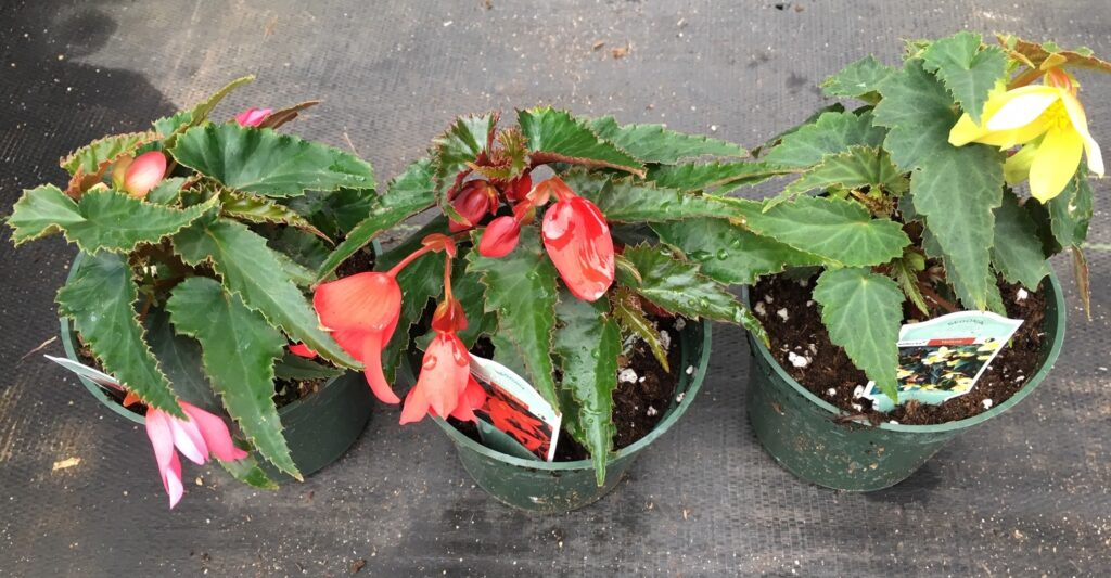 pink, red, and yellow begonia