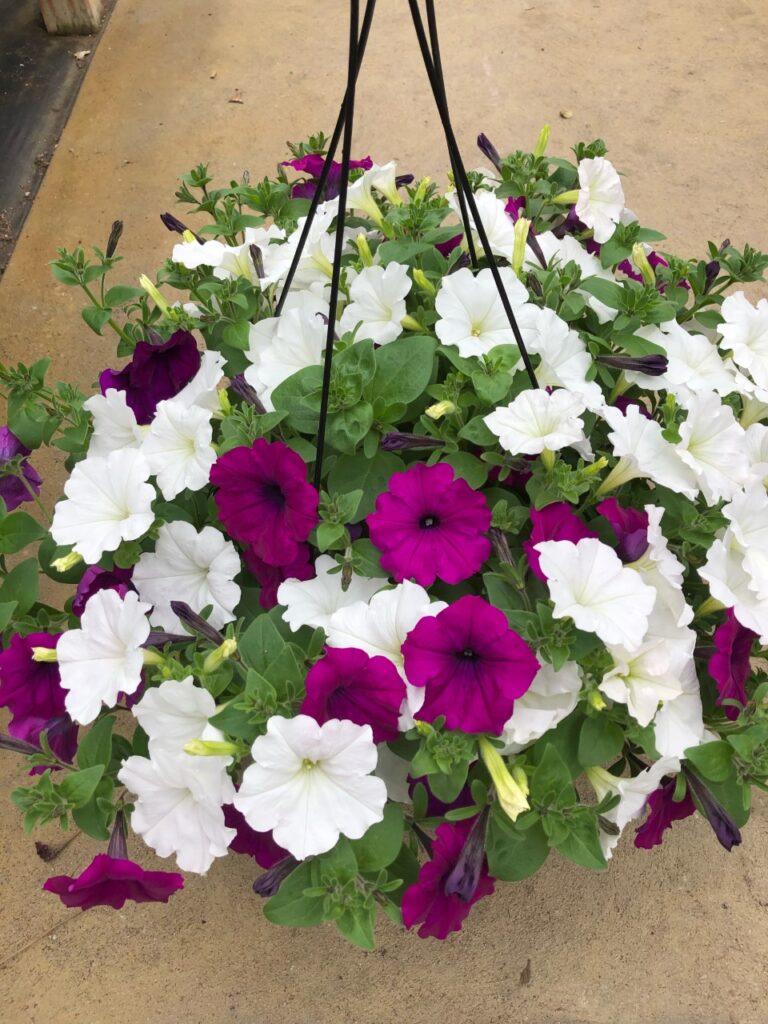 mix of purple and white petunias
