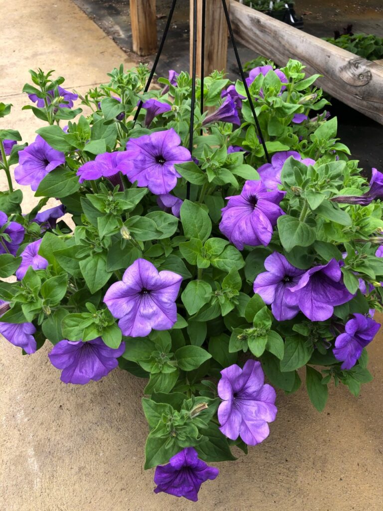 pale purple petunias