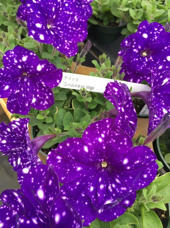deep purple petunias with white flecks