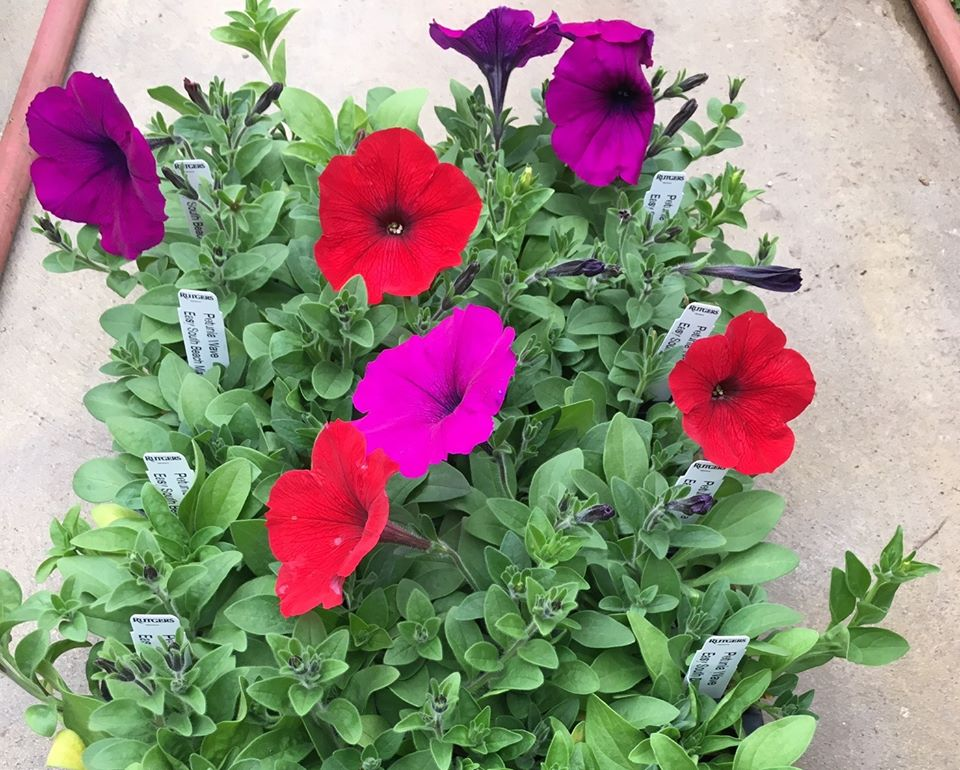 red, purple, and violet petunias