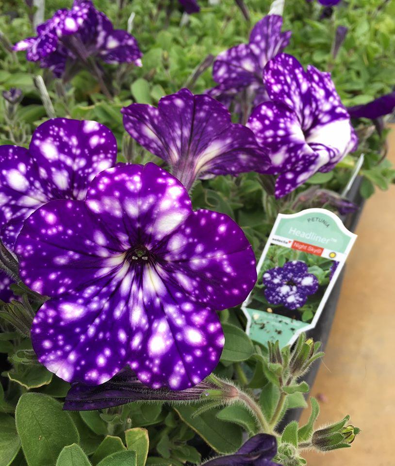 deep purple petunia with white spots