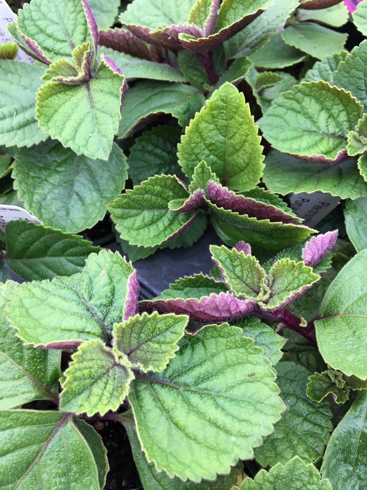fuzzy foliage with purple underside
