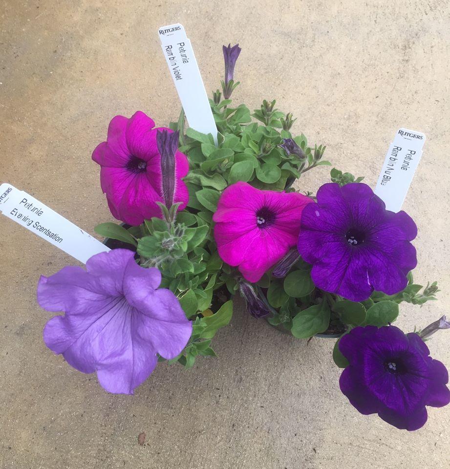 lavender, violet & blue petunias