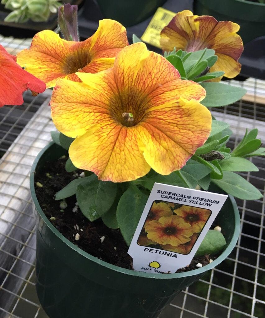 caramel yellow petunia