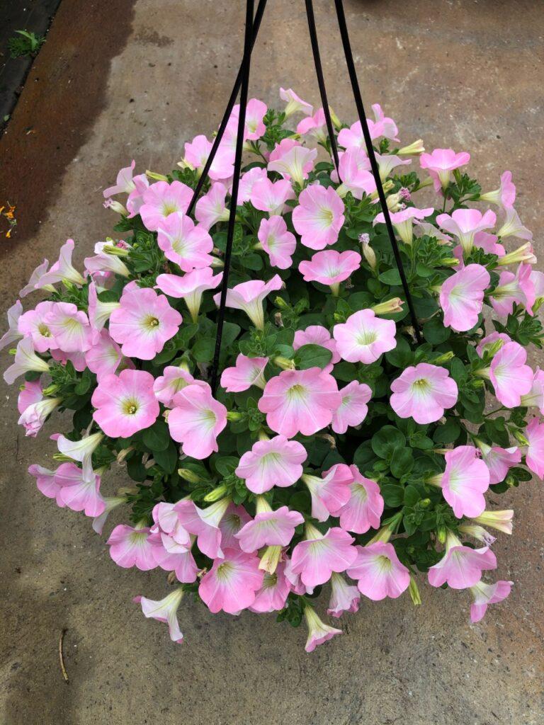paple pink petunias