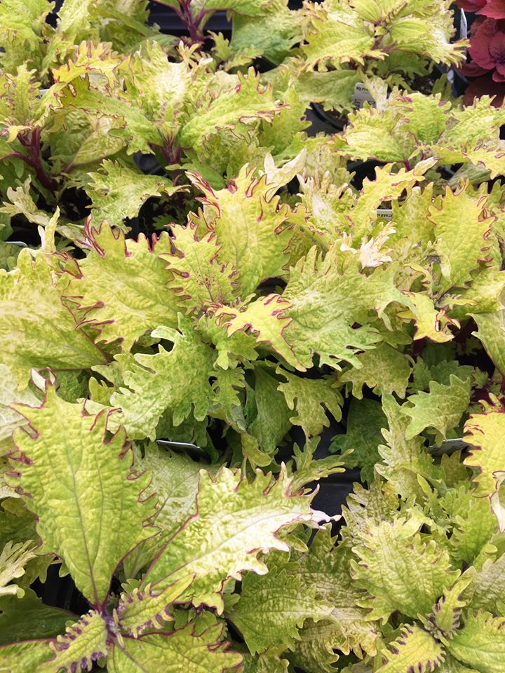 fringy chartreuse coleus leaves