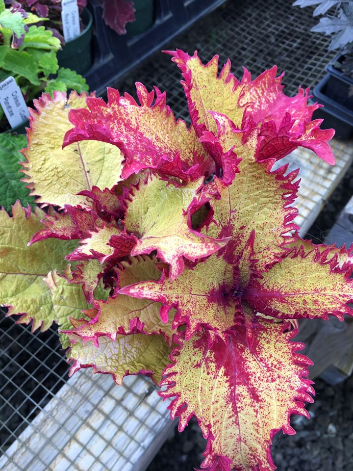 fringy red and yellow coleus