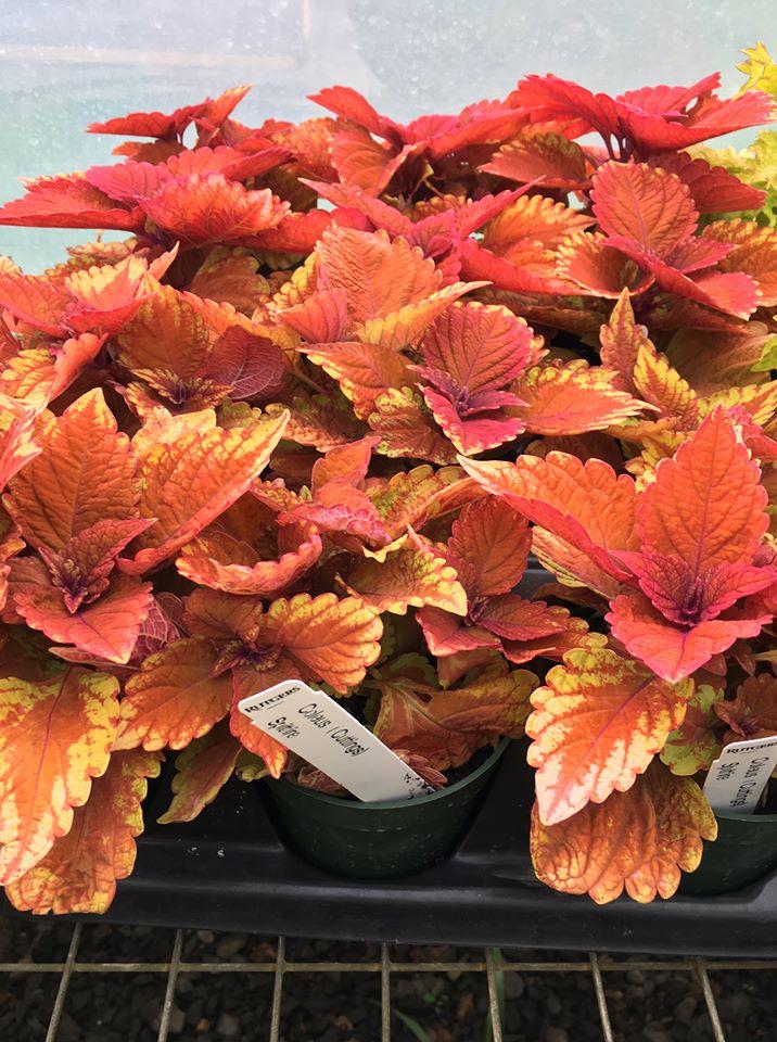 bright orange coleus