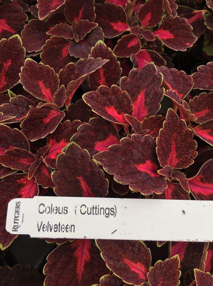 red & purple coleus leaves