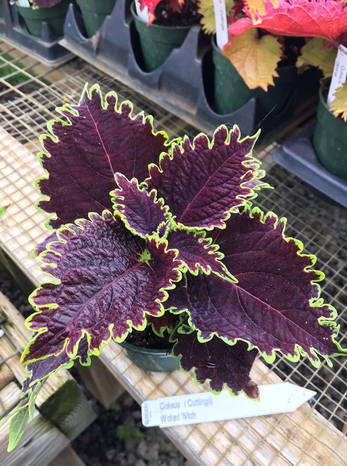 deep red purple coleus with wavy edge