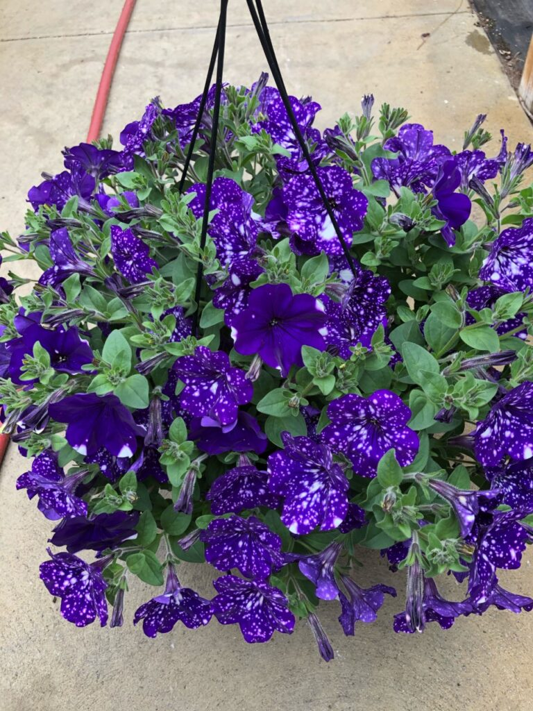 deep blue petunias with white speckles