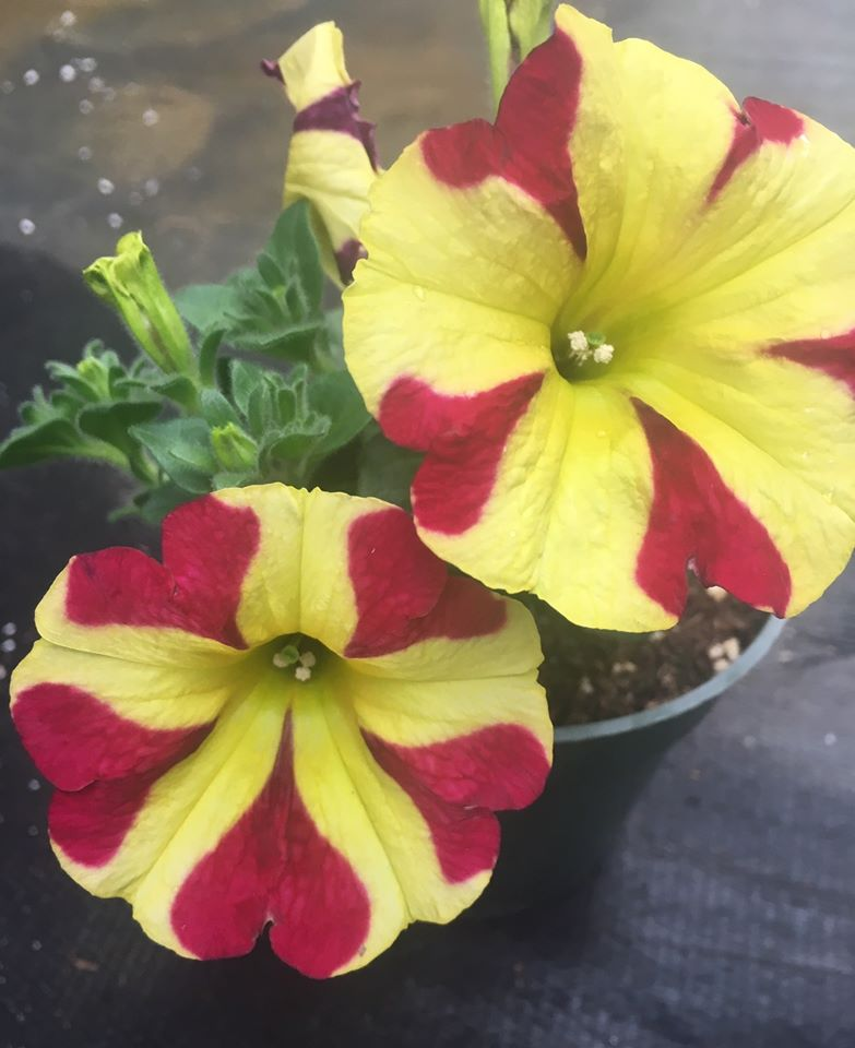 yellow petunia with red hearts on petals