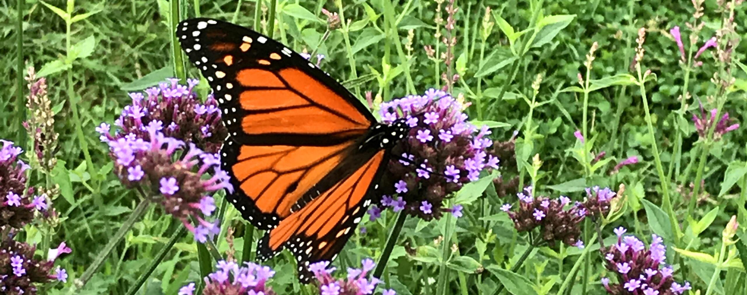 orange monarch butterfly on purple verbena bonarienses flower